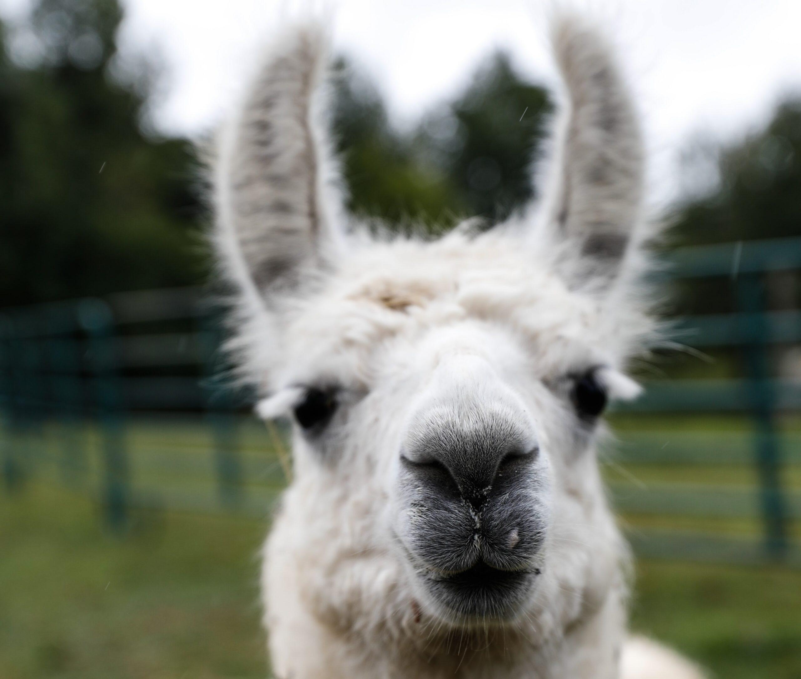 a guard llama