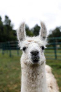 Guard Llama - Unsplash